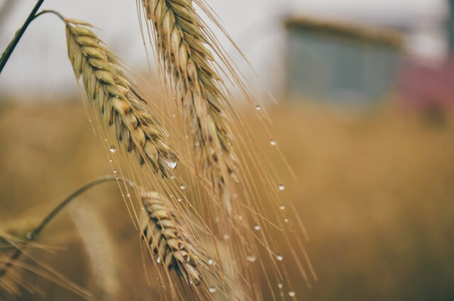 corn-grain-1