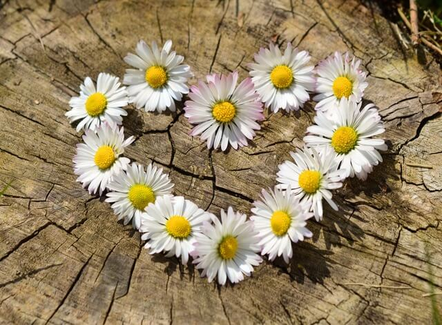 daisy-heart-flowers-flower-heart-1